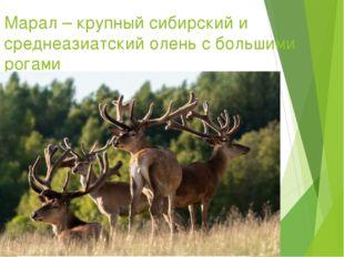 Марал – крупный сибирский и среднеазиатский олень с большими рогами