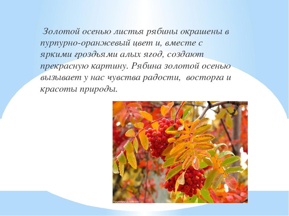 Золотой осенью листья рябины окрашены в пурпурно-оранжевый цвет и, вместе с...