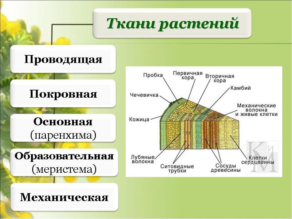 Виды ткани растений с картинками