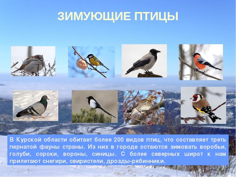 птицы зимующие в ярославской области фото с названиями