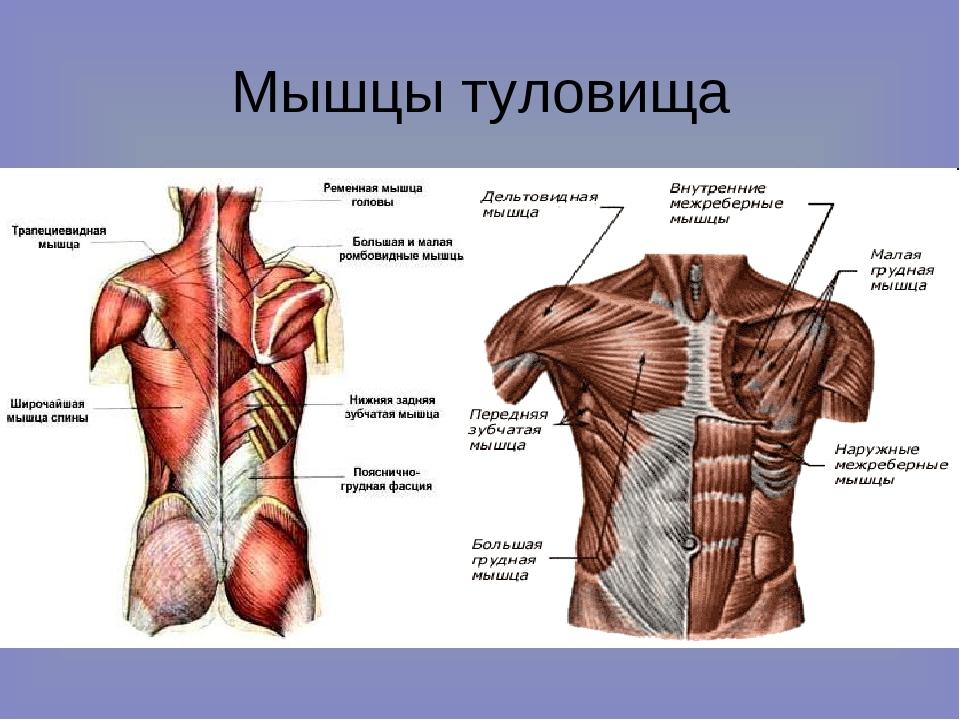 какие мускулы относятся к коротким