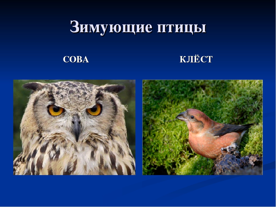 совы перелетные птицы или нет листом является одним