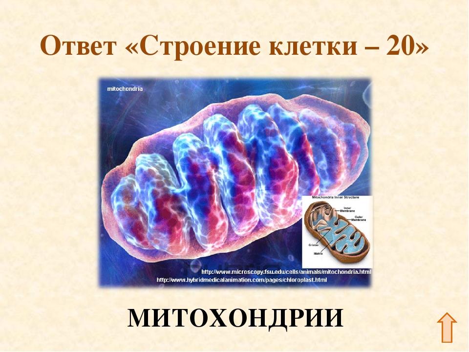 Ответ «Строение клетки – 20» МИТОХОНДРИИ