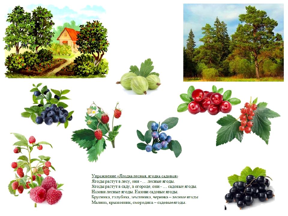 Картинки садовых и лесных ягод для детей