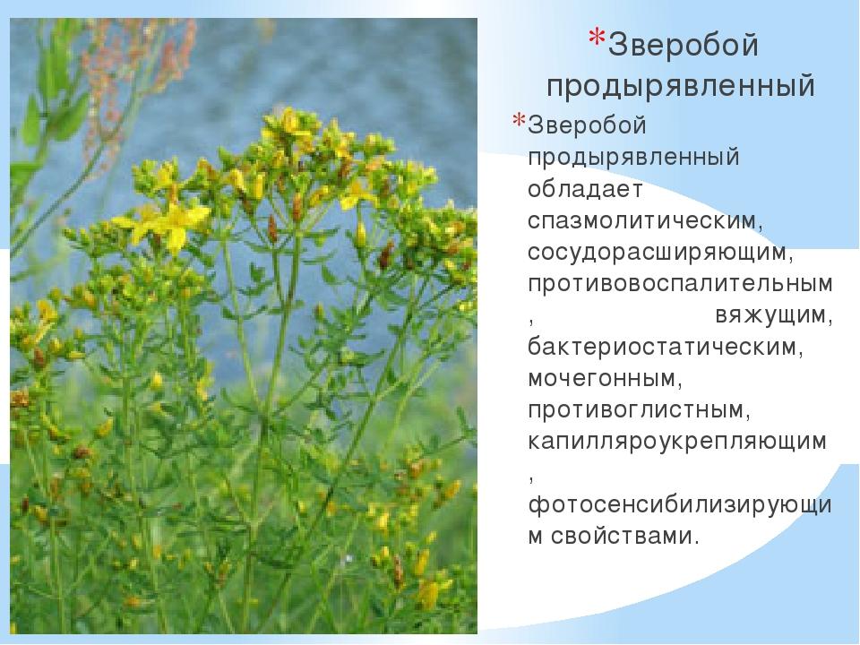 зверобой трава лечебные свойства и противопоказания для женщин для изготовления