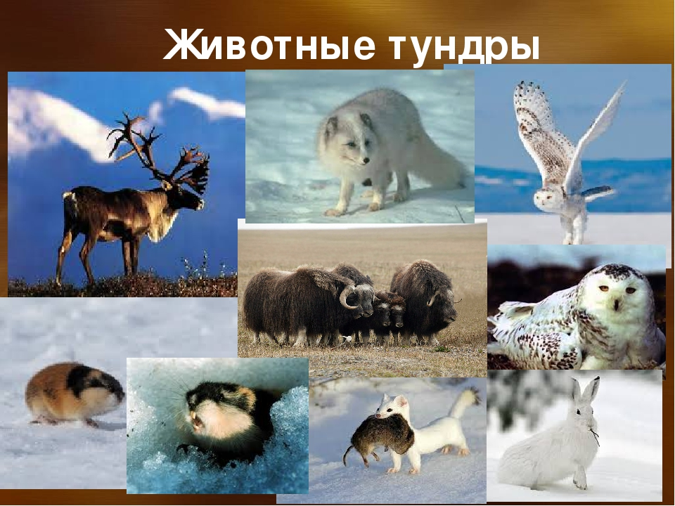 обрезал все о животных тундры с картинками только