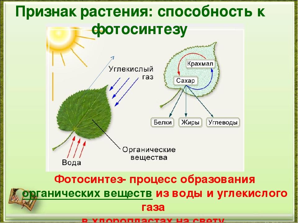 процесс фотосинтеза у растений открывает широкие