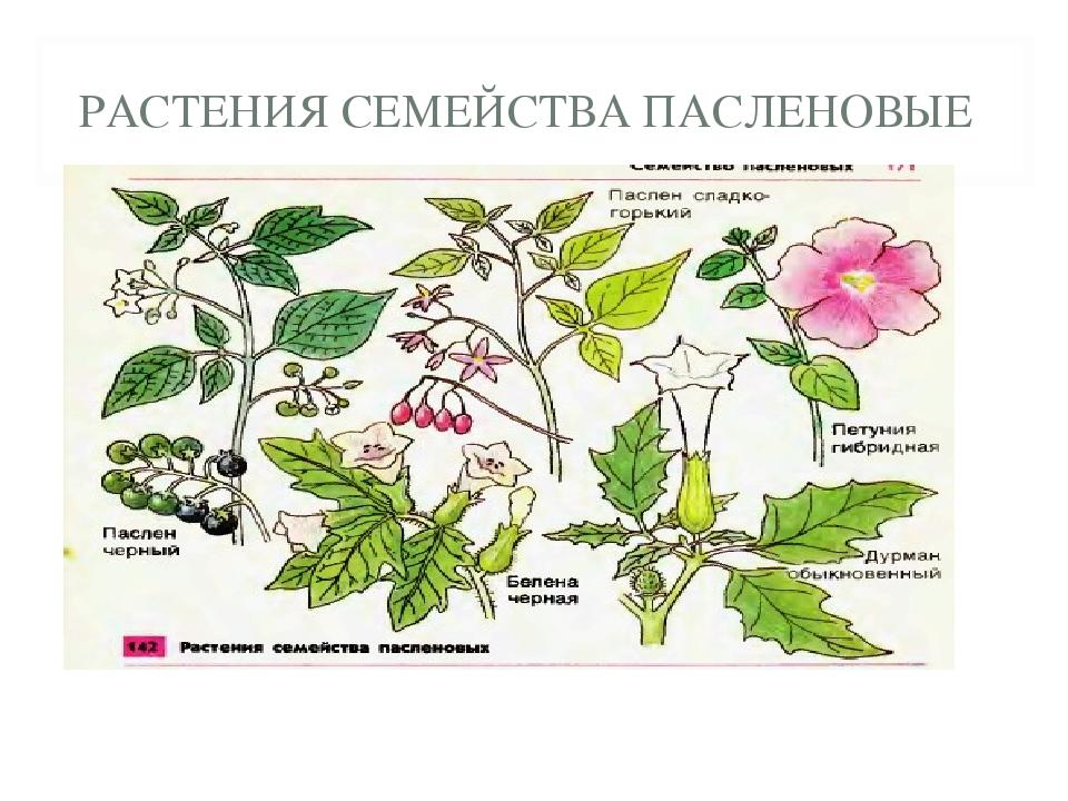 пасленовые растения все картинки этом перечисленные способы