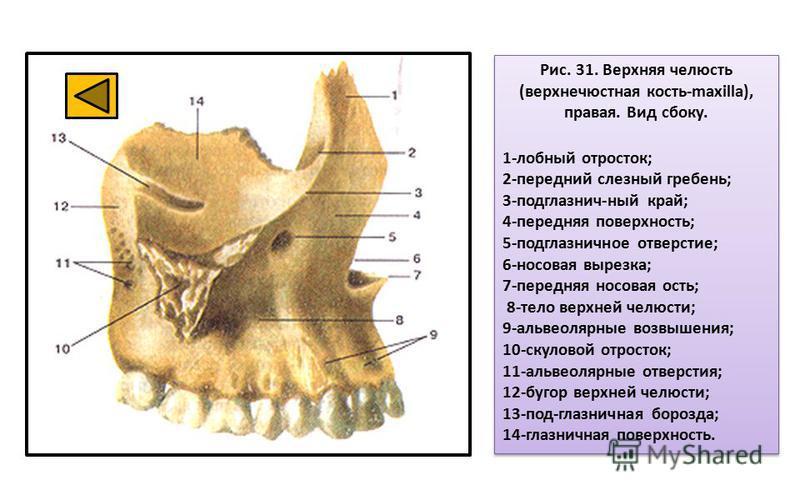 Анатомия верхней и нижней челюстей картинки