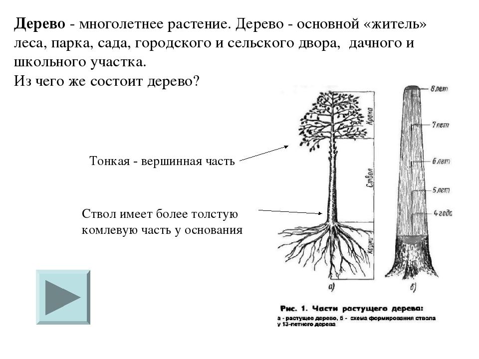 Дерево - многолетнее растение. Дерево - основной «житель» леса, парка, сада,...