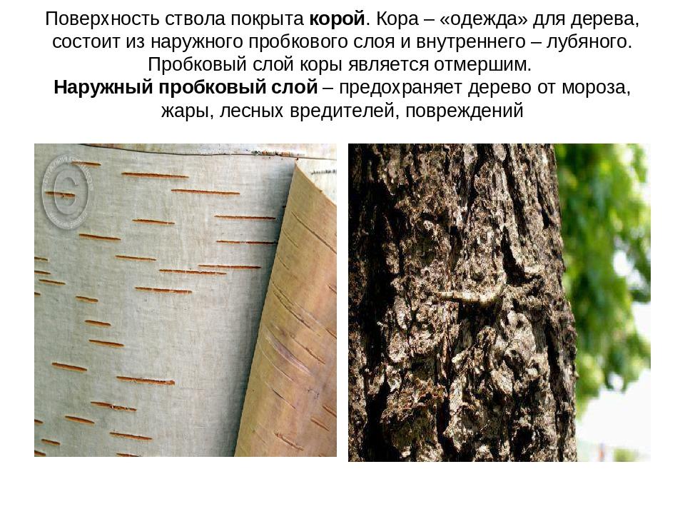Поверхность ствола покрыта корой. Кора – «одежда» для дерева, состоит из нару...