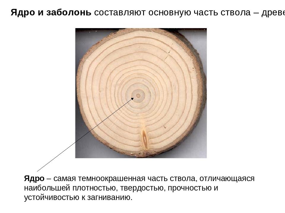 Ядро и заболонь составляют основную часть ствола – древесину Ядро – самая тем...