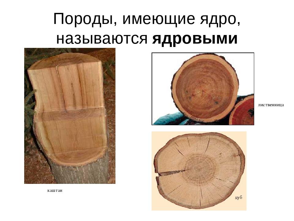 Породы, имеющие ядро, называются ядровыми дуб лиственница каштан