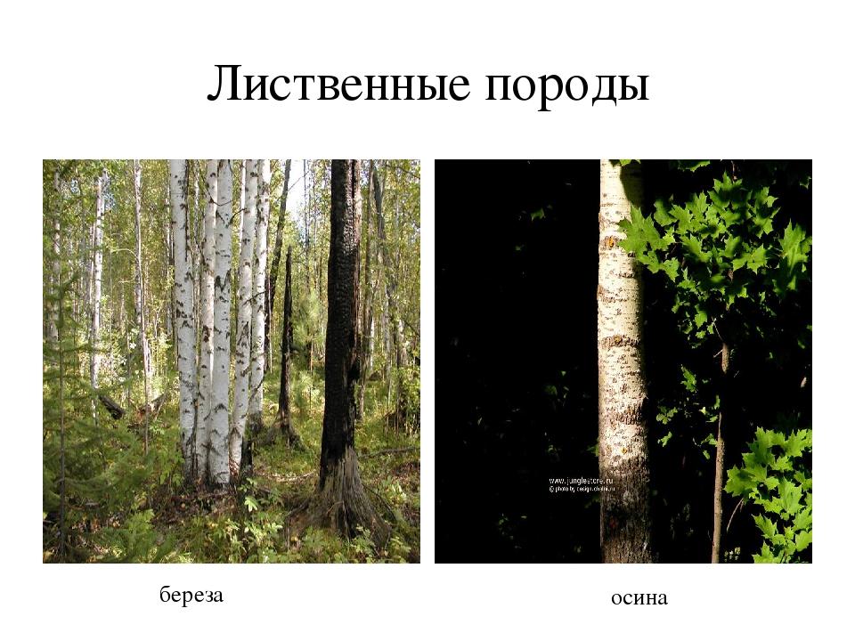 Лиственные породы береза осина