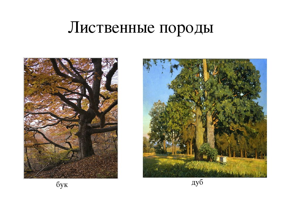 Лиственные породы бук дуб