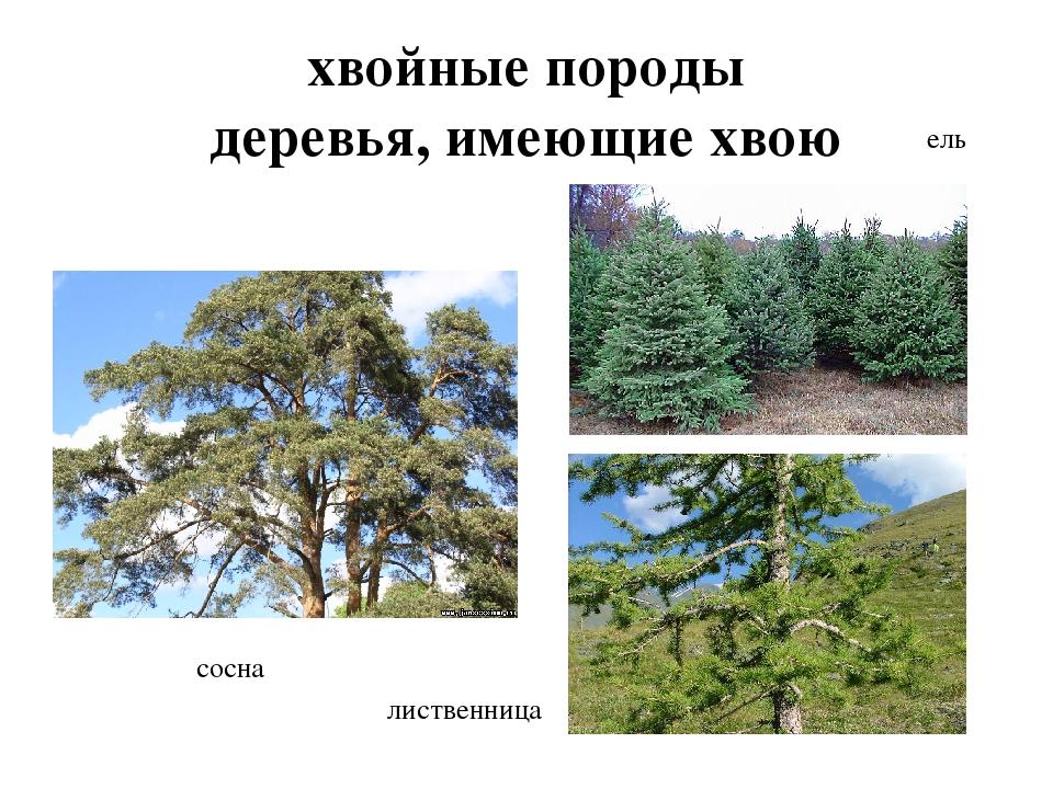 хвойные породы деревья, имеющие хвою сосна ель лиственница