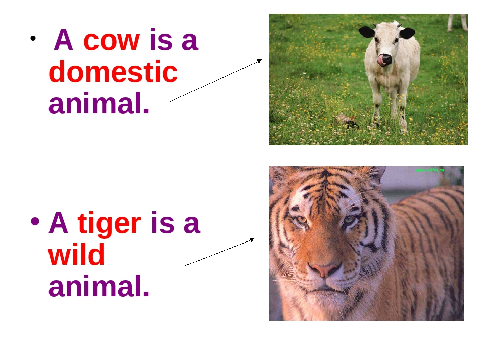 A cow is a domestic animal. A tiger is a wild animal.
