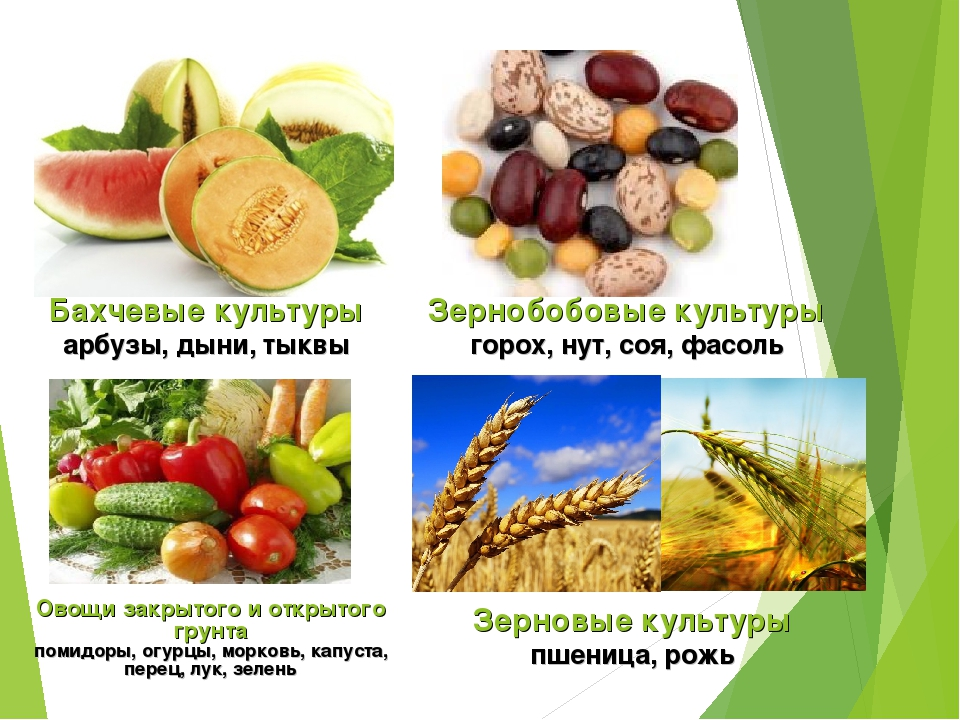 Бахчевые культуры арбузы, дыни, тыквы Зернобобовые культуры горох, нут, соя,...