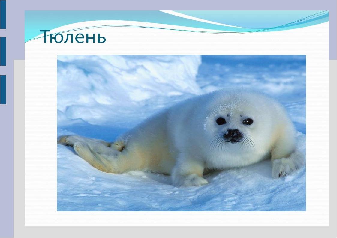 все о тюленях и их картинки разместить рекламу