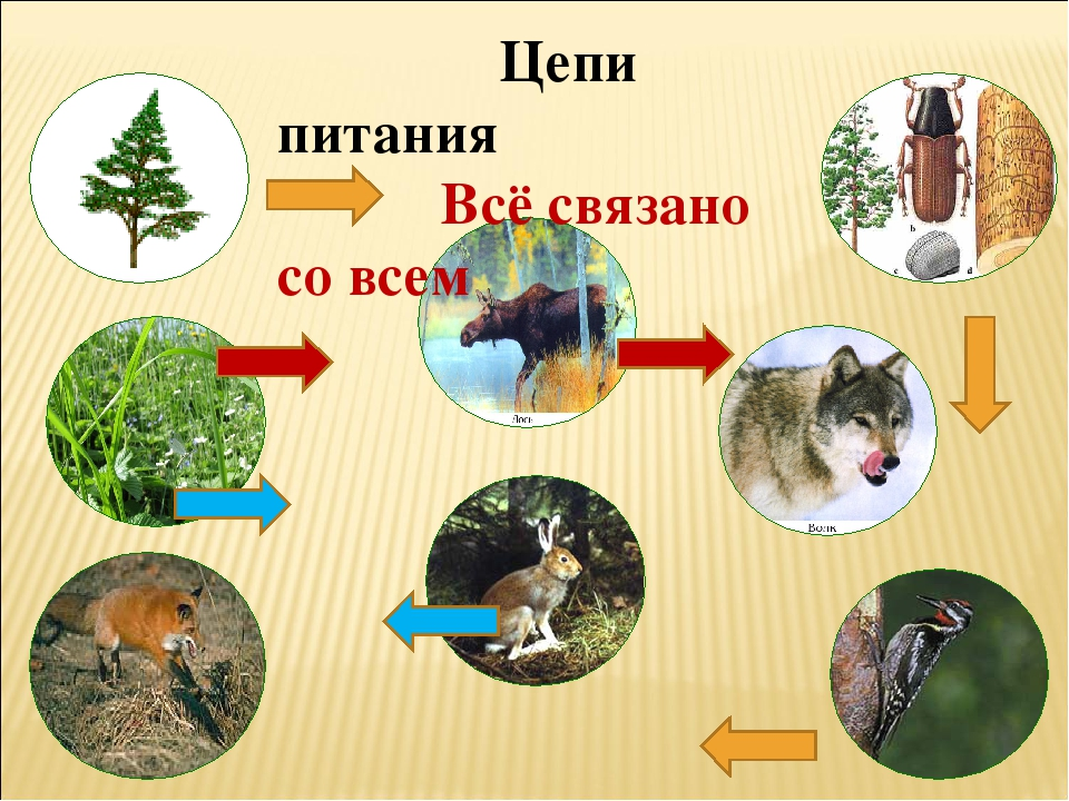 Пищевая цепочка леса картинки