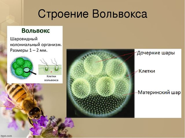 фото вольвокс,гониум,эвродина