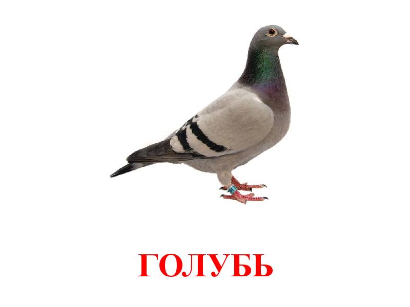 Анимашки, картинки голуби с надписями