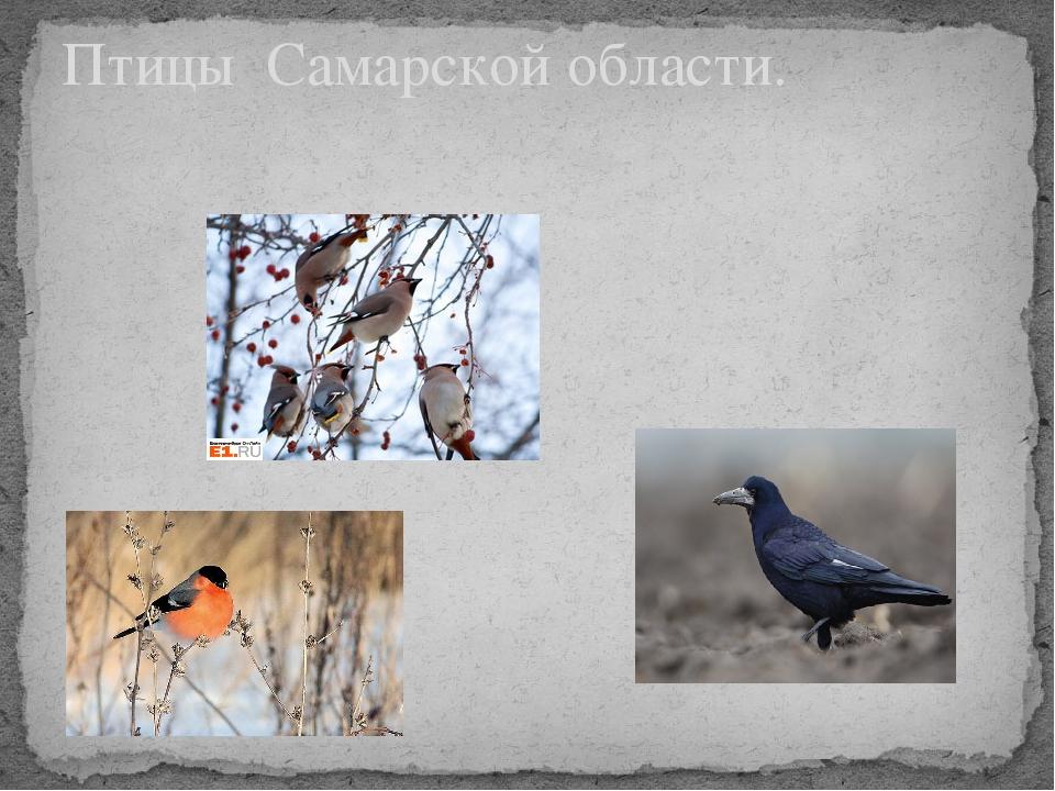 Птицы самарской области фото и названия для детей
