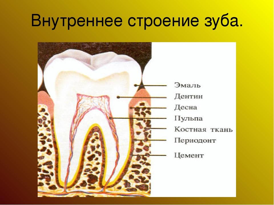 Внутреннее строение зуба.