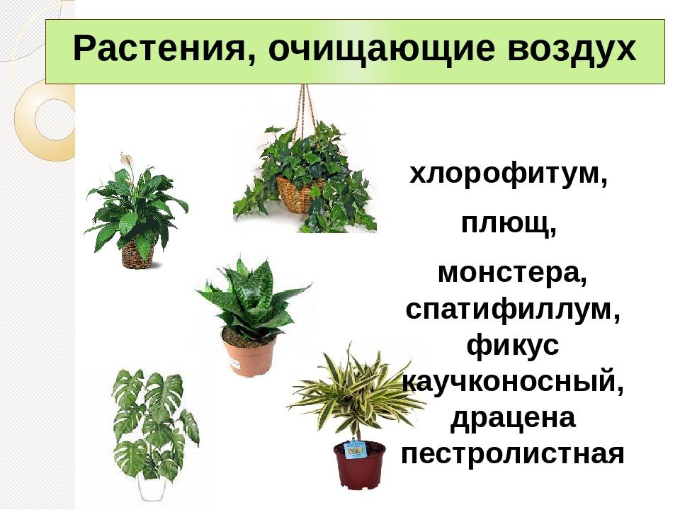Цветы очищающие воздух в квартире, фаленопсис корзине