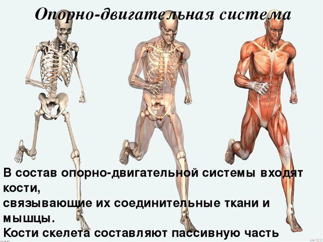опорно-двигательного и рост функции костей.стадии человека.состав развития аппарата