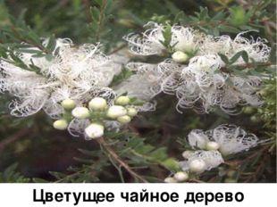 Цветущее чайное дерево