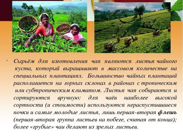 Сырьём для изготовления чая являются листьячайного куста, который выращиваю...