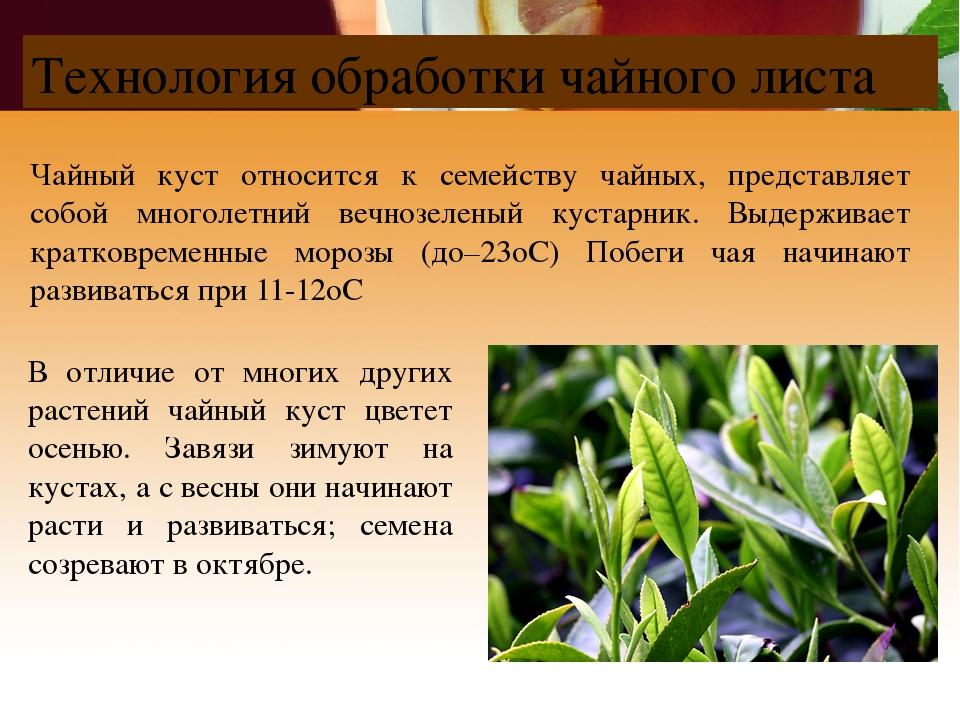 В отличие от многих других растений чайный куст цветет осенью. Завязи зимуют...