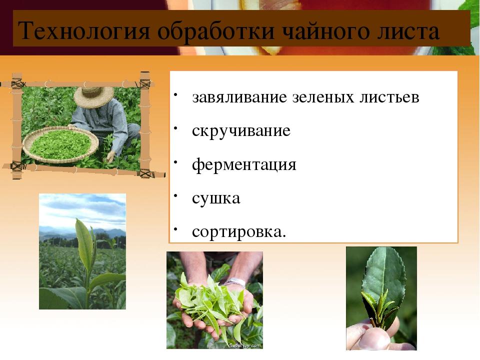 Технология обработки чайного листа завяливание зеленых листьев скручивание фе...