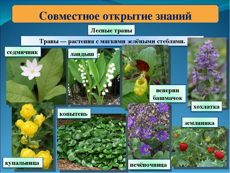 выращивании название растений с картинками лесных печаль