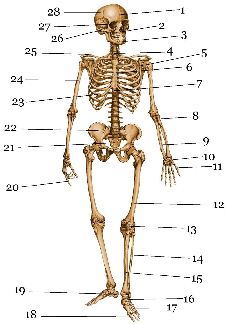 картинки какие бывают скелеты того данный отделочный