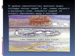 От древних кишечнополостных произошли предки ползающих плоских червей. У них,