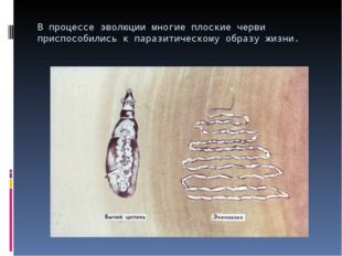 В процессе эволюции многие плоские черви приспособились к паразитическому обр