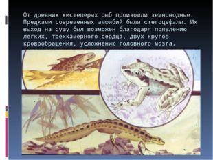 От древних кистеперых рыб произошли земноводные. Предками современных амфибий