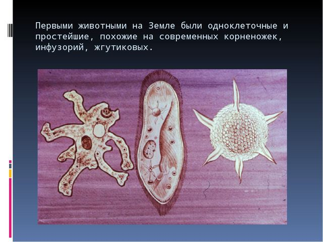 Первыми животными на Земле были одноклеточные и простейшие, похожие на соврем...