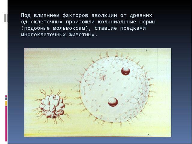 Под влиянием факторов эволюции от древних одноклеточных произошли колониальны...