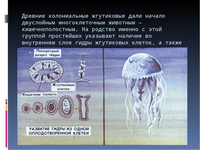 Древние колониальные жгутиковые дали начало двуслойным многоклеточным животны...