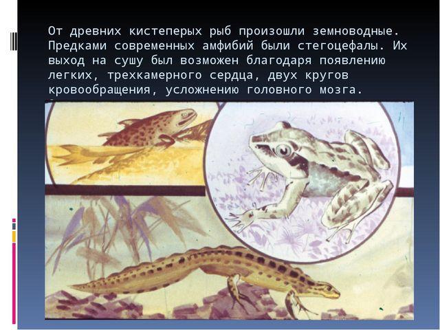От древних кистеперых рыб произошли земноводные. Предками современных амфибий...