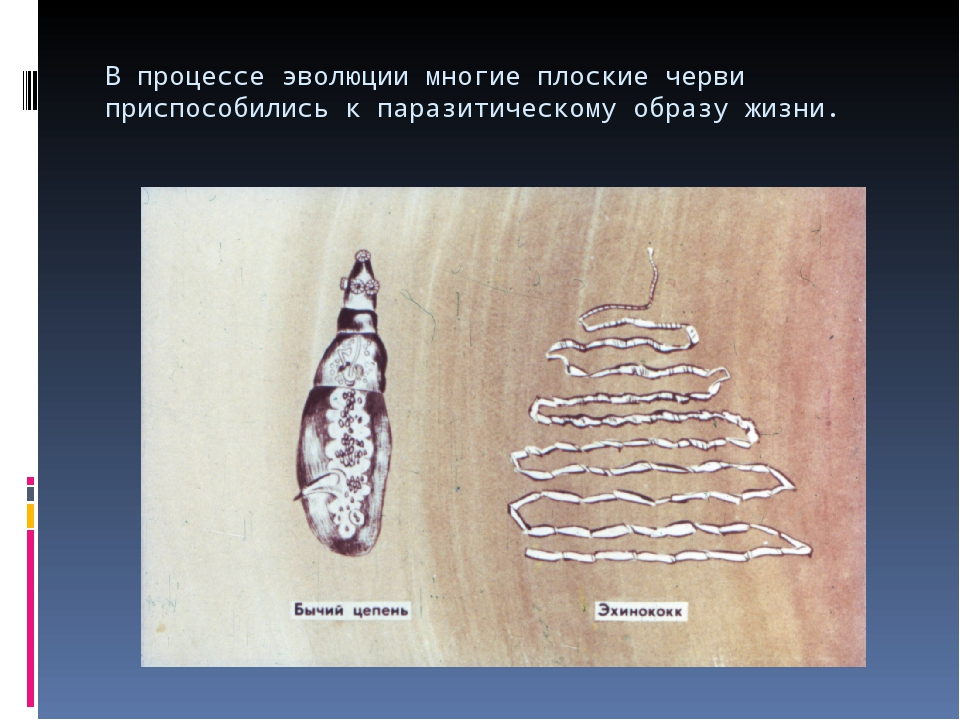 В процессе эволюции многие плоские черви приспособились к паразитическому обр...
