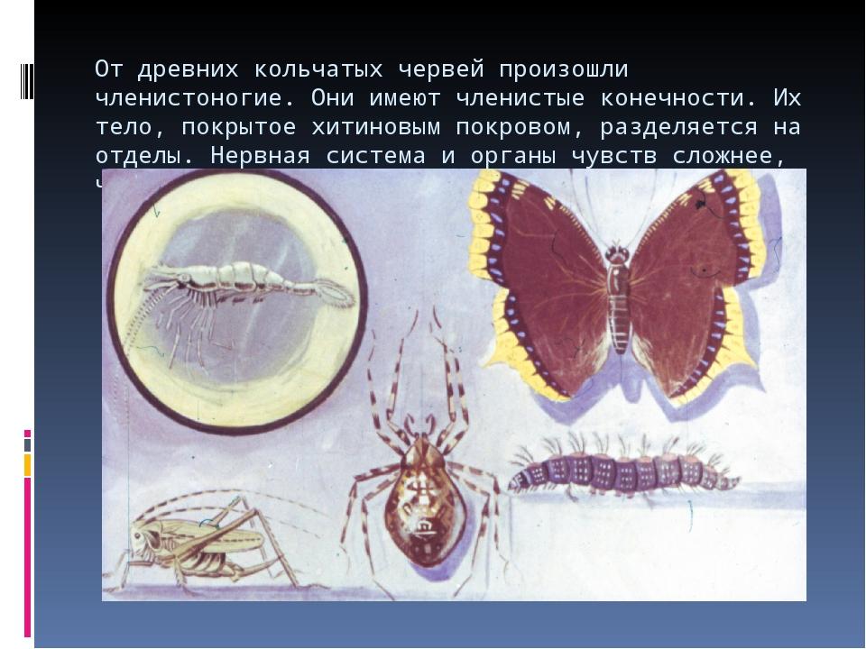 От древних кольчатых червей произошли членистоногие. Они имеют членистые коне...