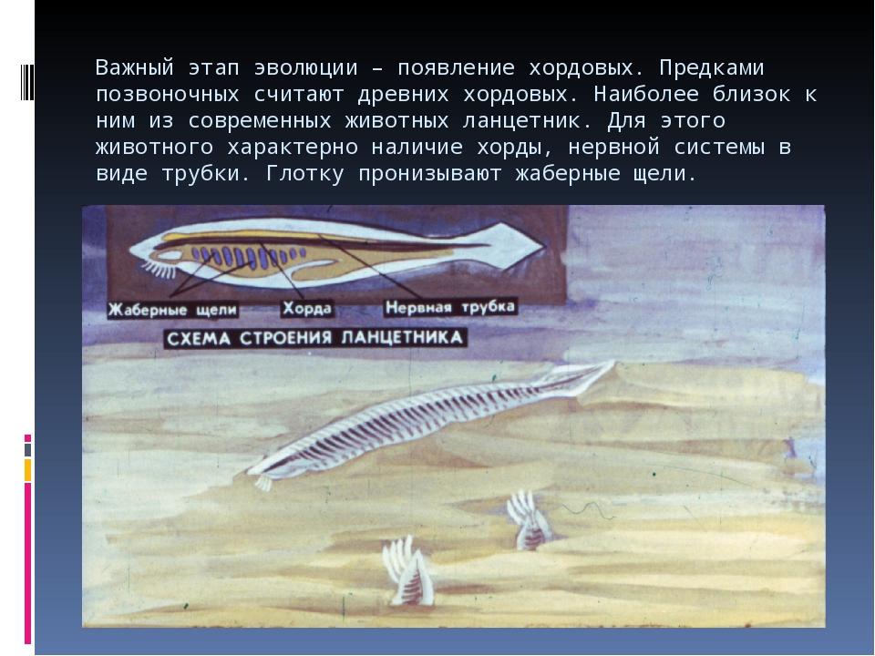 Важный этап эволюции – появление хордовых. Предками позвоночных считают древн...