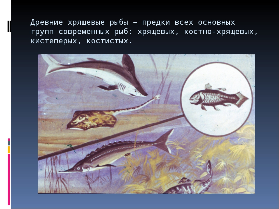 Древние хрящевые рыбы – предки всех основных групп современных рыб: хрящевых,...