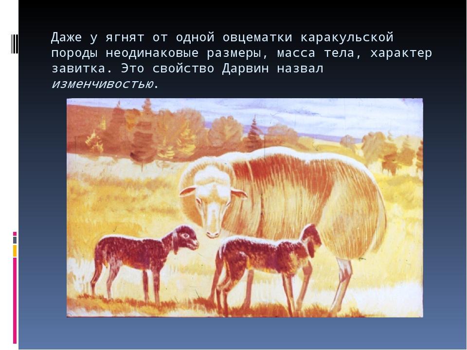 Даже у ягнят от одной овцематки каракульской породы неодинаковые размеры, мас...