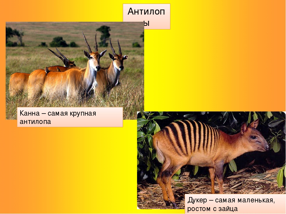 Антилопы Канна – самая крупная антилопа Дукер – самая маленькая, ростом с зайца