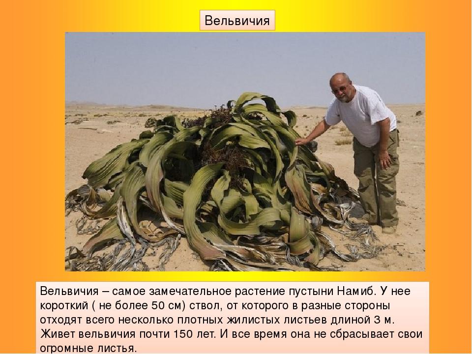 Вельвичия – самое замечательное растение пустыни Намиб. У нее короткий ( не б...